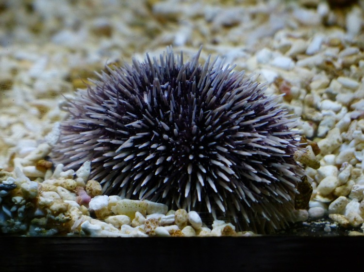 sea-urchins-452921_1280
